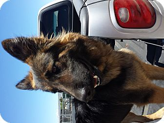 German Shepherd Dog Dog for adoption in Pinedale, Wyoming - Grazel
