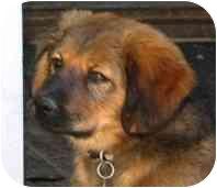 Belgian Shepherd/Rhodesian Ridgeback Mix Puppy for adoption in Vista, California - Johnny