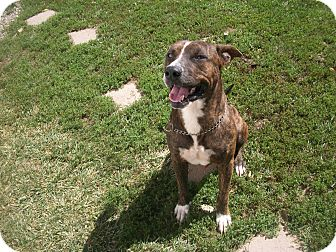 American Pit Bull Terrier/Boxer Mix Dog for adoption in Portland, Indiana - Brutus