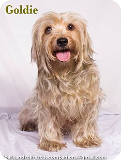 Maltese/Yorkie, Yorkshire Terrier Mix Dog for adoption in Baton Rouge, Louisiana - Goldie