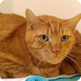 Domestic Shorthair Cat for adoption in Brimfield, Massachusetts - Big Sam