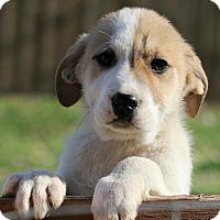 Adopt A Pet :: Fredrik - Brattleboro, VT