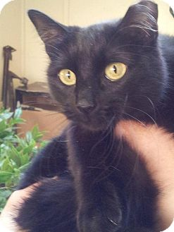 Domestic Shorthair Cat for adoption in Arlington/Ft Worth, Texas - Fiona