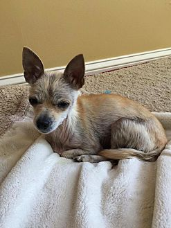 Chihuahua Mix Dog for adoption in S. Pasedena, Florida - Bella
