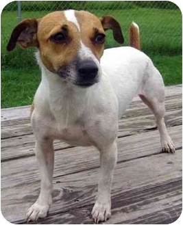 Jack Russell Terrier/Rat Terrier Mix Dog for adoption in Portsmouth, Rhode Island - Rami