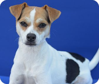 Terrier (Unknown Type, Small)/Rat Terrier Mix Puppy for adoption in LAFAYETTE, Louisiana - LEAH