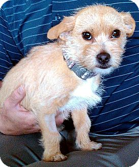 Terrier (Unknown Type, Medium) Mix Puppy for adoption in Tijeras, New Mexico - Nissa