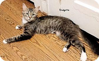 Domestic Mediumhair Cat for adoption in Morganton, North Carolina - Bridgette