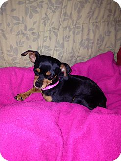 Chihuahua Mix Dog for adoption in Nashville, Tennessee - Maddie