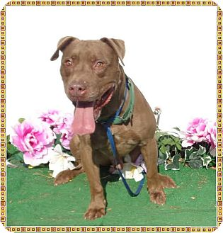 American Pit Bull Terrier Mix Dog for adoption in Marietta, Georgia - GOOSE - reclaimed