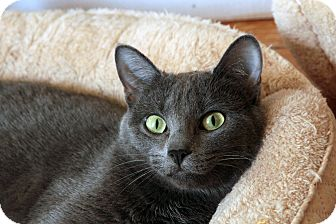 Russian Blue Cat for adoption in St. Louis, Missouri - Iris DeMent