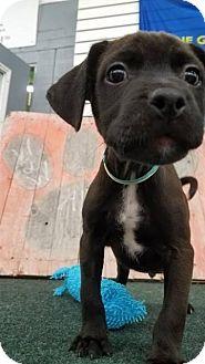 Labrador Retriever Mix Puppy for adoption in Plainfield, Illinois - Chuck