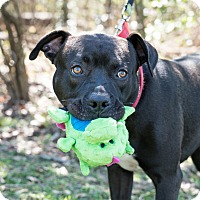Pit Bull Terrier Mix Dog for adoption in Houston, Texas - Buddy