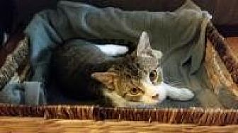 Domestic Shorthair Cat for adoption in Crown Point, Indiana - Tyne