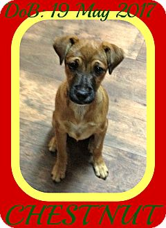 Brittany/Boxer Mix Puppy for adoption in Manchester, New Hampshire - CHESTNUT