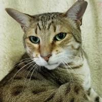 Adopt A Pet :: Pierre - Spartanburg, SC