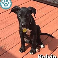 Adopt A Pet :: Kalvin - Kimberton, PA