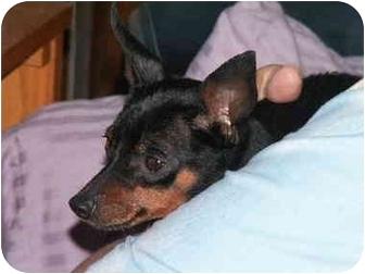 Miniature Pinscher Mix Dog for adoption in Homer, New York - Cody