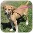 Photo 2 - Hound (Unknown Type) Mix Puppy for adoption in Brenham, Texas - Gracie Sue