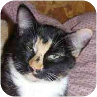 Domestic Shorthair Cat for adoption in Coleraine, Minnesota - Stitch