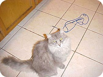 Domestic Longhair Cat for adoption in Whitney, Texas - Indie