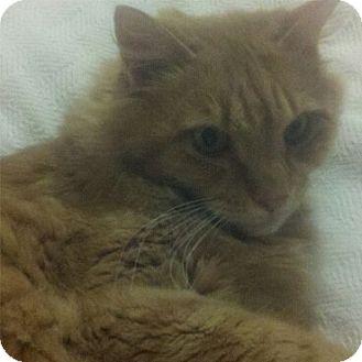Domestic Mediumhair Cat for adoption in Bear, Delaware - Toni