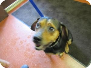 Beagle Mix Dog for adoption in Sidney, Ohio - Snoopy