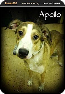 Australian Kelpie Mix Dog for adoption in Brattleboro, Vermont - Apollo