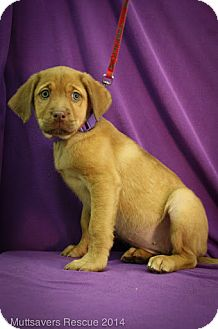 Labrador Retriever/Shepherd (Unknown Type) Mix Puppy for adoption in Broomfield, Colorado - Teenie Godiva
