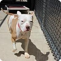 Adopt A Pet :: Amelie - Chicago, IL