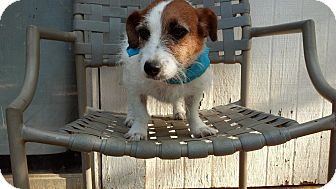 Jack Russell Terrier Dog for adoption in Houston, Texas - Amina in Houston