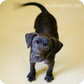 Labrador Retriever Mix Puppy for adoption in Monroe, Georgia - JAMIE