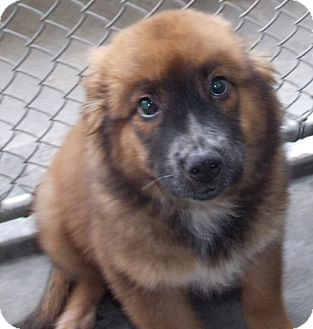 Chow Chow Mix Dog for adoption in St. Pauls, North Carolina - Bobbin