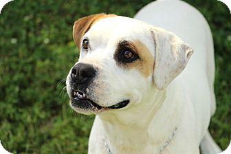 Boxer Mix Dog for adoption in Salem, New Hampshire - ELLIE DEE