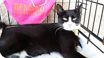 Domestic Shorthair Cat for adoption in College Station, Texas - Cookies