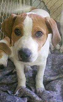 Coonhound (Unknown Type) Mix Dog for adoption in Prestonsburg, Kentucky - tibbs