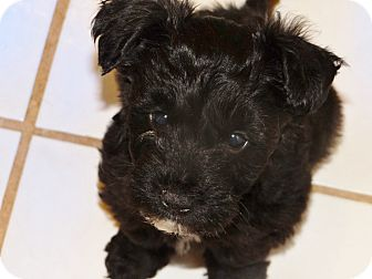 Schnauzer (Miniature)/Poodle (Toy or Tea Cup) Mix Puppy for adoption in Inland Empire, California - MISTY