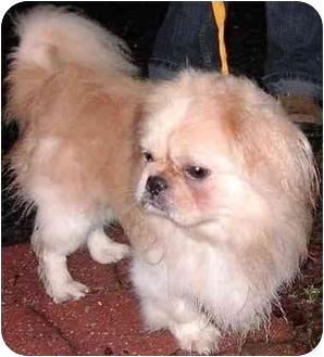 Pekingese Dog for adoption in Mays Landing, New Jersey - Henry