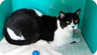 Domestic Mediumhair Cat for adoption in Maquoketa, Iowa - Snoopy