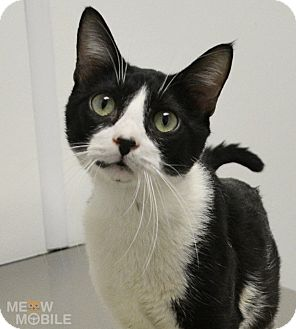 Domestic Shorthair Cat for adoption in Springfield, Illinois - Walker