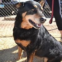 Adopt A Pet :: Sasha - Lubbock, TX