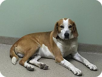 Hound (Unknown Type) Mix Dog for adoption in Creedmoor, North Carolina - Rusty