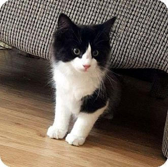Domestic Longhair Kitten for adoption in Lombard, Illinois - Halley