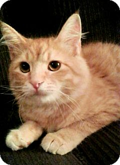 Domestic Mediumhair Kitten for adoption in Spring Valley, New York - Tennessee