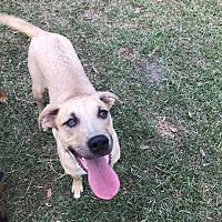 Adopt A Pet :: Bolt - Lake Charles, LA