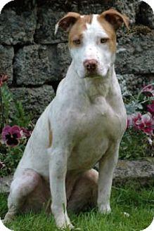 American Staffordshire Terrier Mix Dog for adoption in Tacoma, Washington - Sharri