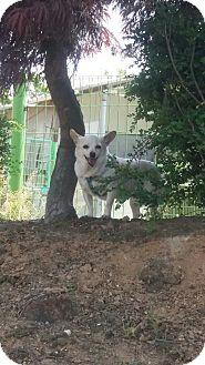 Chihuahua Mix Dog for adoption in Oakton, Virginia - Honey