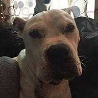 Boxer Dog for adoption in Summerville, South Carolina - Izzy
