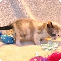 Domestic Shorthair Kitten for adoption in Hinton, Oklahoma - Piggie