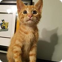 Domestic Shorthair Kitten for adoption in Westland, Michigan - Sonny